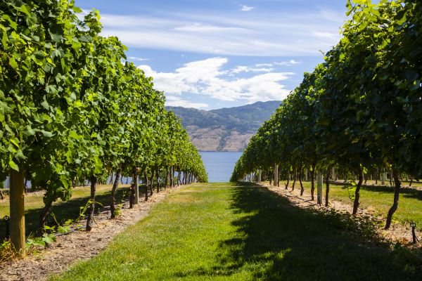 Vineyards in the Okanagan Valley