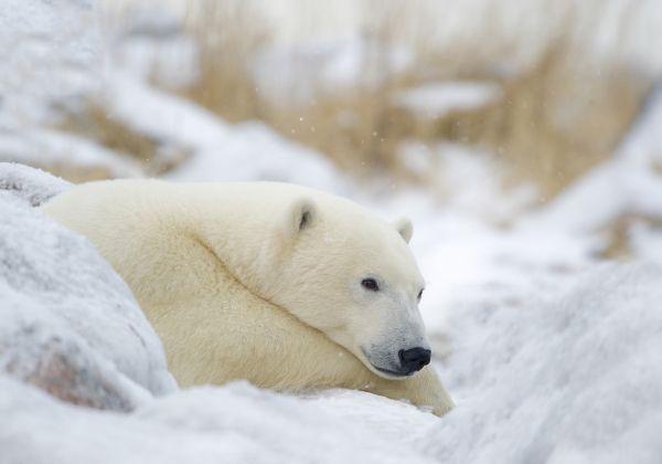 Polar Bear Resting - credit: Churchill Wild/Dennis Fast