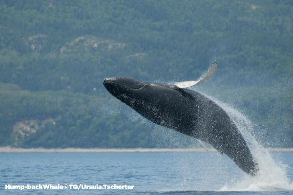 Quebec Whale watching - with copyright