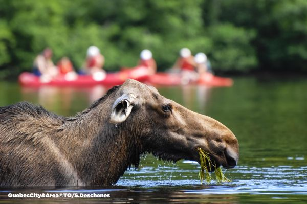 Moose, Quebec with copyright