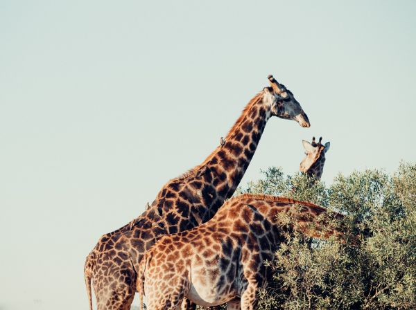 Giraffe - South Africa