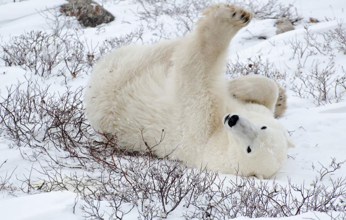 Polar Bear at Churchill Wild