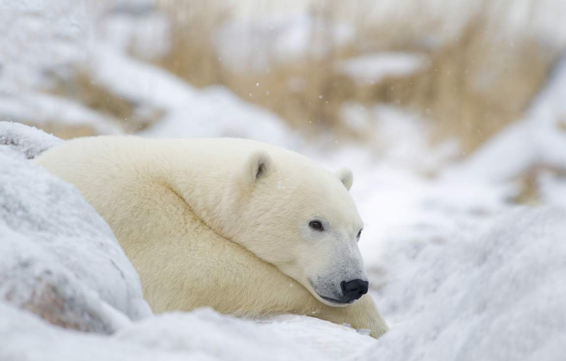 Polar Bear Resting - credit: Churchill Wild/Dennis Fast