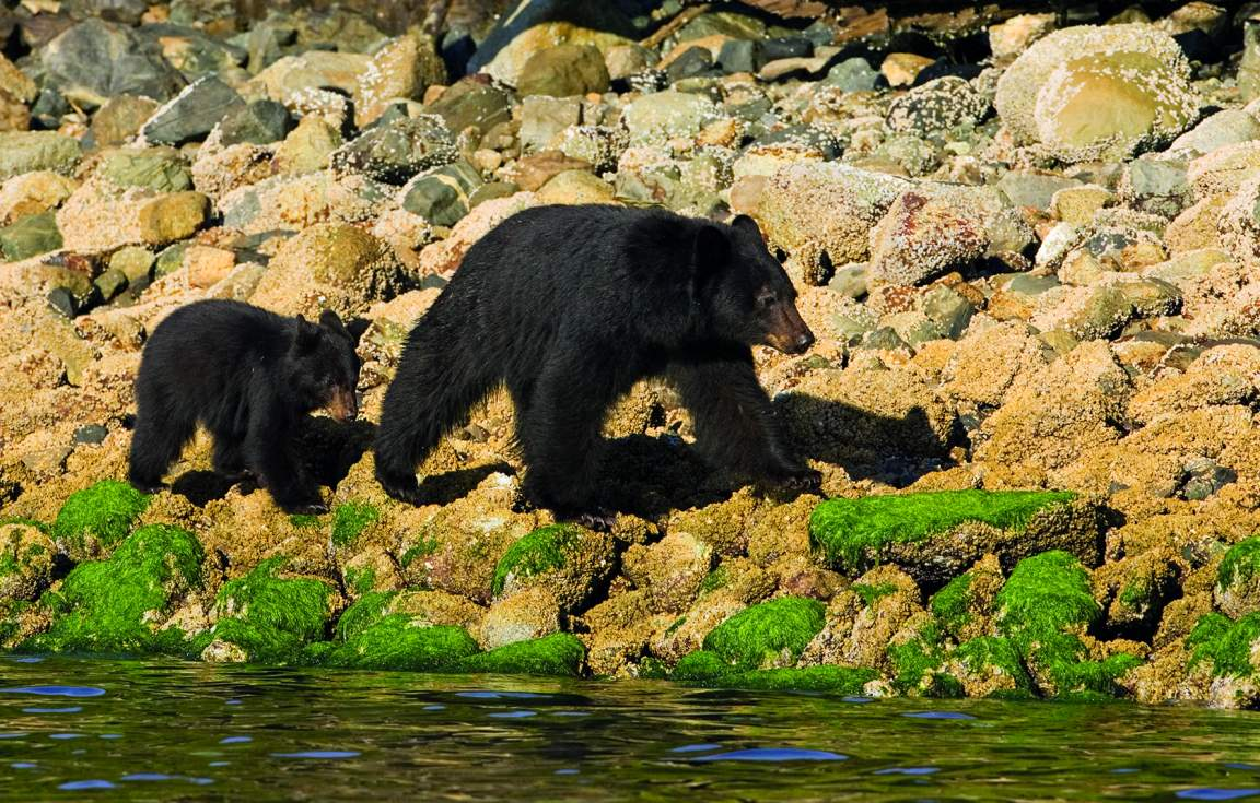 Tofino Bear Watching