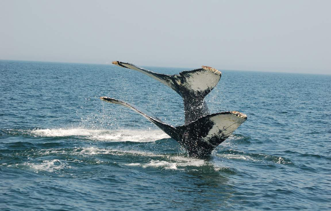 Humpbacks - NB