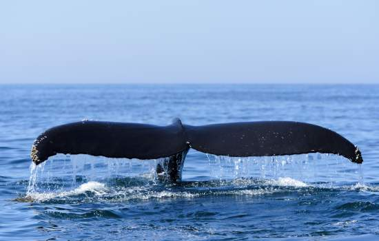 Humpback Whale Bay of Fundy