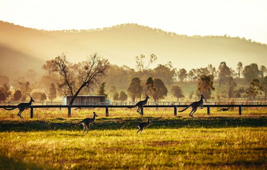 Kangaroos in Hunter Valley