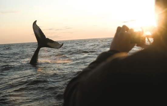 Whale Watching -  Brier Island